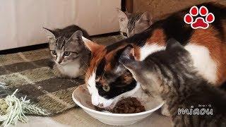 子猫の私達にも食べさせろ Kitten wanting to eat an adult cat food