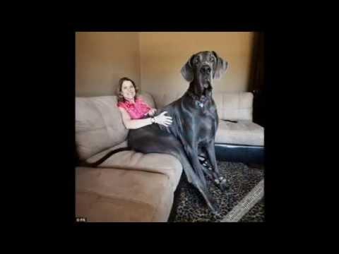 Les plus gros chiens au monde