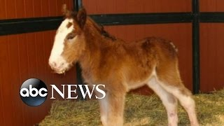 getlinkyoutube.com-Super Bowl Budweiser Commercials | Baby Clydesdale May Appear in 2016 Commercial