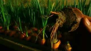 getlinkyoutube.com-Выгонка зелёного лука. Первый блин комом.