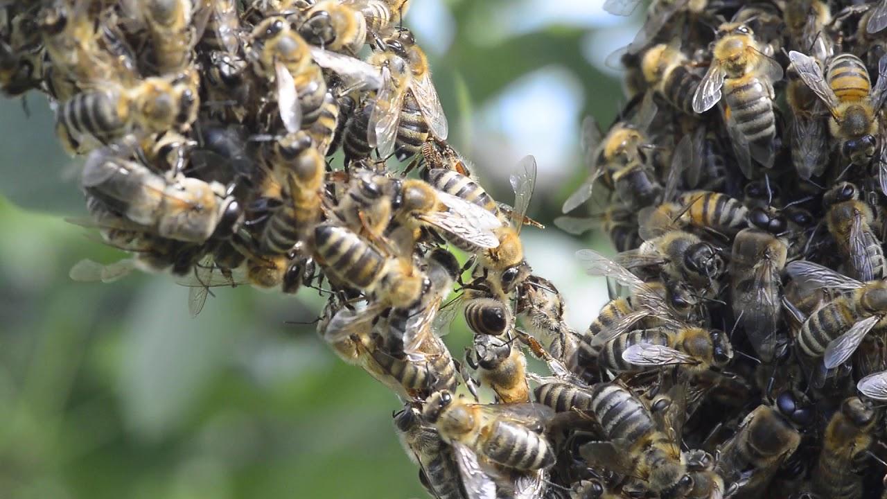 Ponašanje pčela u roju II