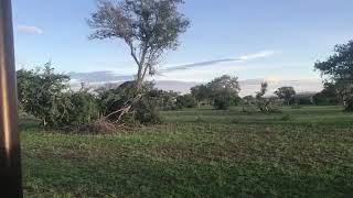 Tembo akiangusha mti mbugani Serengeti