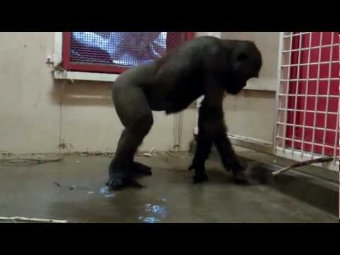 Break Dancing Gorilla at the Zoo
