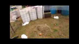 getlinkyoutube.com-Breeding rabbit does in a community pen, 45 day test - How to save $$$ growing meat rabbits
