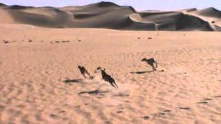 Desert hunting by saluki (9)