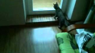 getlinkyoutube.com-Talking cat wants to go outside.3gp