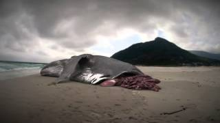 getlinkyoutube.com-Megalodon: The Monster Shark Lives: Whale Attacked by Megalodon?