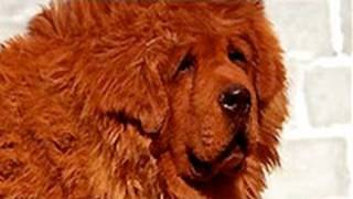 "getlinkyoutube.com-Red Tibetan Mastiff ""Big Splash"" Is World's Most Expensive Dog"