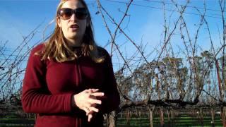 getlinkyoutube.com-Grapevine Cordon Pruning