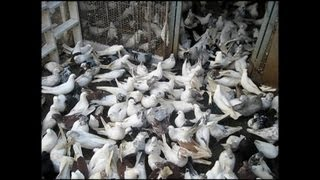 getlinkyoutube.com-New!! 2013 best clip Iranian Pigeons(kaftar irani) Elizada 5.1.2013