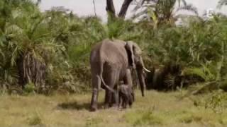 echo elephant amboseli - baby boom dans la plaine part2/3