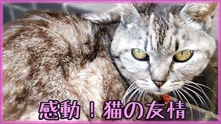 感動!野良猫を助けたい 猫の優しい気持ち〜『猫の友情物語』友達猫が心配  - Cat that wants to help black stray cat.