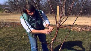 getlinkyoutube.com-Training Young Fruit Trees
