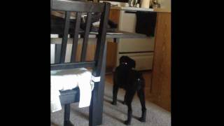 getlinkyoutube.com-Dog sees a ghost! Real! Caught on tape!