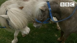 Mating Miniature Horses - Ronnie's Animal Crackers: Episode 1 - BBC One