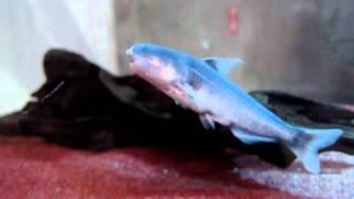 getlinkyoutube.com-アマゾン川最凶の魚「カンディル」