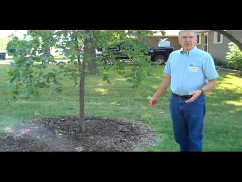 MU Extension Advice: Irrigating trees in a drought