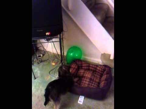 Doggie VS Balloon