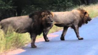 getlinkyoutube.com-2 Male lions roaring in the Kruger National Park