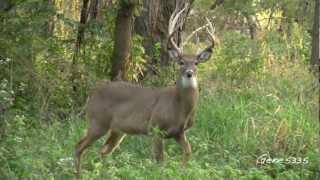 getlinkyoutube.com-Iowa White-tailed Deer - Walking By