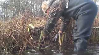 getlinkyoutube.com-Best Muskrat Trapping Video open water. Bonus Beavers!!