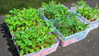 How to Grow a Garden from Seed. Soil Prep Starting Tomato Seeds Container Gardening Plant