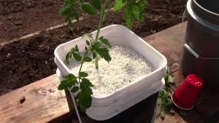 getlinkyoutube.com-Starting Up Hydroponic Dutch Bucket Tomatoes
