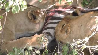 getlinkyoutube.com-WARNING - GRAPHIC.  Lions eating zebra - Serengeti, Tanzania - Safari May 2014 - #1