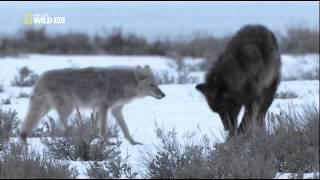 getlinkyoutube.com-Восхождение чёрного волка