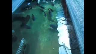 getlinkyoutube.com-ฟาร์มปลาหมอแห่งใหญ่ในนครปฐม แถวๆ วัดกลาง ; Fishes,Farm,Nakhon Pathom,Thailand.