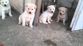 getlinkyoutube.com-우리  아빠 사무실에 있는 강아지 새끼