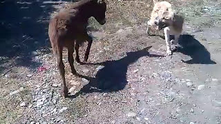 getlinkyoutube.com-Funny Video | Little Donkey Kicked The Dog | They Are Playing Each Other