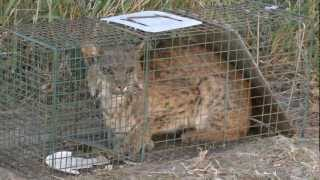 getlinkyoutube.com-Bobcat caught in a raccoon trap. He escaped just before being released. San Benito Texas 2013-02-17