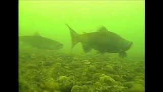 getlinkyoutube.com-Ice fishing for Kokanee Salmon in Colorado with a Marcum LX-9