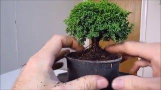 getlinkyoutube.com-How To Make a Bonsai Tree From a Nursery Stock Tsu