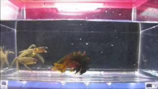getlinkyoutube.com-Mantis shrimp vs Crab Death Match