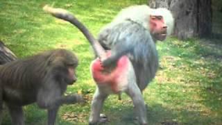 getlinkyoutube.com-Crazy Baboon Gives the Finger