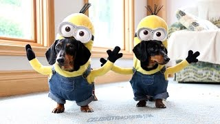 getlinkyoutube.com-Wiener Dog Minions!