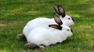 getlinkyoutube.com-Разведение кроликов калифорнийской породы в ЛПХ Кубик