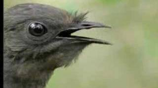 getlinkyoutube.com-Amazing! Bird Sounds From The Lyre Bird - David Attenborough  - BBC Wildlife