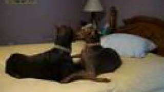 getlinkyoutube.com-dobermans bella and maverick talking