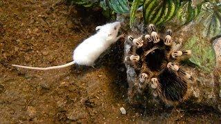 getlinkyoutube.com-Large brutal tarantula kills mouse (Acanthoscurria geniculata)