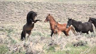 getlinkyoutube.com-Wild Horses Fighting