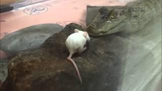 getlinkyoutube.com-꼬마악어 쥐 사냥