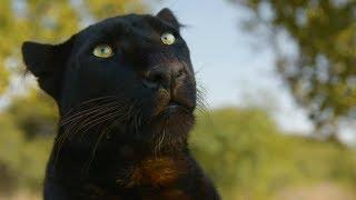 Meet The Leopards!   The Lion Whisperer