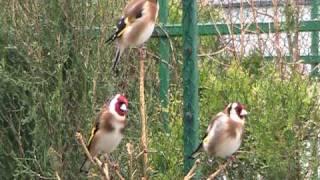 getlinkyoutube.com-goldfinches singing.mpg