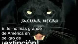 getlinkyoutube.com-Documental Jaguar Negro