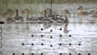 getlinkyoutube.com-berburu belibis dengan senapan borneo 500 made in mbah bejo