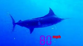 Black Marlin: The Fastest Fish on the Planet  - Ultimate Killers - BBC
