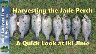 getlinkyoutube.com-Harvesting the Jade perch, a quick look at iki Jime..